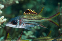 BD-141018-Komodo-5418-Neoniphon-sammara.-Castelnau.-1875-[Sammara-squirrelfish].jpg